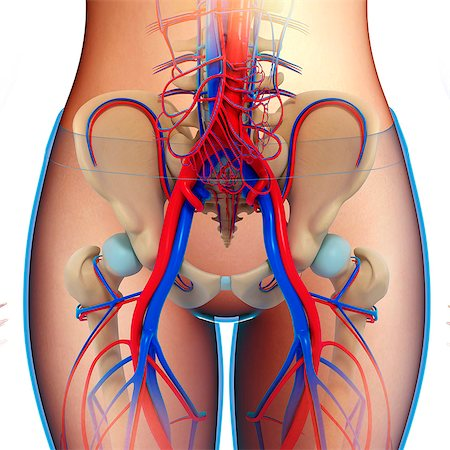 679-08763720 © Masterfile Royalty-Free Model Release: No Property Release: No Illustration of female pelvic blood vessels.